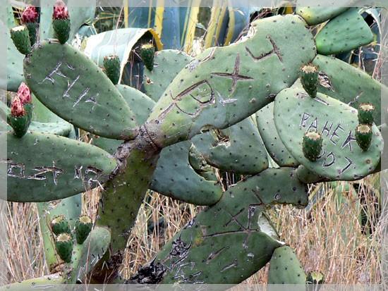 Cactus martyrisé